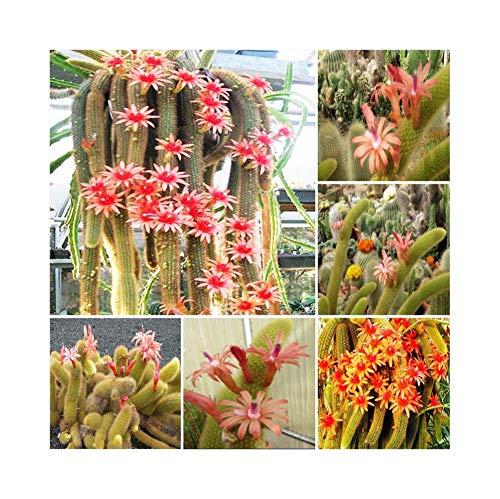 Bloom Green Co. bonsai Hildewintera Aureispina * Cleistocactus Winteri * Monkey Tail...