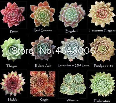 Bloom Green Co. 200 Piezas de bonsái Sempervivum Mezclado, Exã³Ticas Flores en...