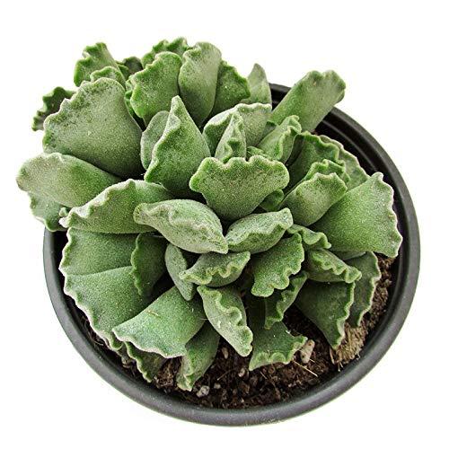 Cactus Adromischus Cristatus Cactus Suculenta Maceta 5cm Planta Natural