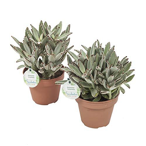 Cactus y suculentas de Botanicly – 2 × Calanchoe – Altura: 28 cm – Kalanchoe...