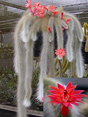 Hildewintera Colademononis * impresionante cola de mono Cactus * Flores, rojo * 10...
