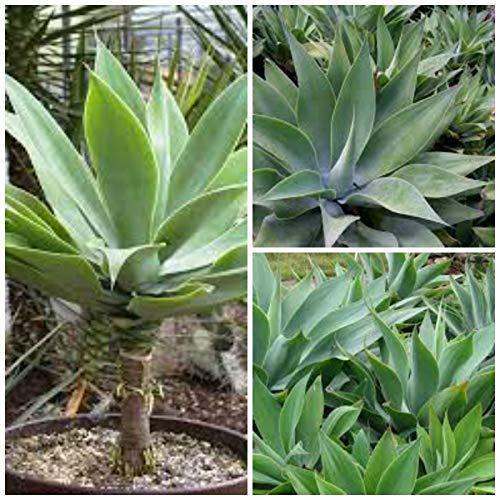 ScoutSeed 10 semillas de agave attenuata, suculentas, cactus, suculentas semillas C