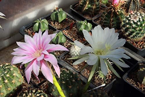 Portal Cool 50 Semillas Cactus. Echinopsis Echinopsis Subdenudata Eyriesii. Own...