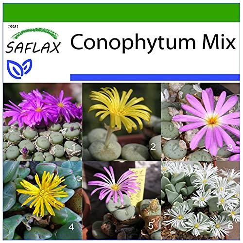 SAFLAX - Conophytum Mix - 40 semillas - Con sustrato estéril para cultivo -...