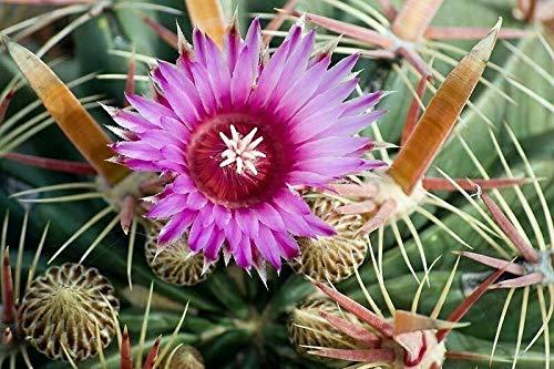 Ferocactus latispinus – Devils Tongue Cactus – 20 semillas, fruta, flor, árbol,...