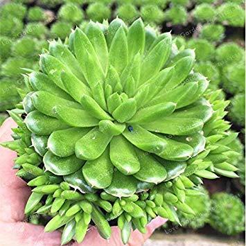 Potseed Las Semillas de germinación: Alrededor de 100 PCS Raras Suculentas Semillas...