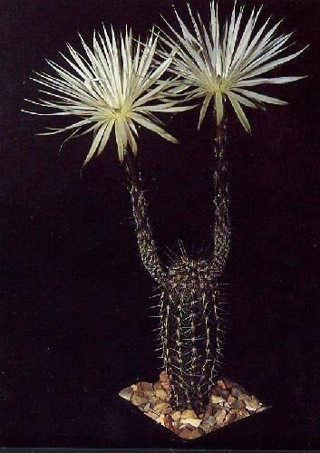 Tropica - Cactus - Cactus erizo marino sudamericano (Echinopsis mirabilis) - 40...