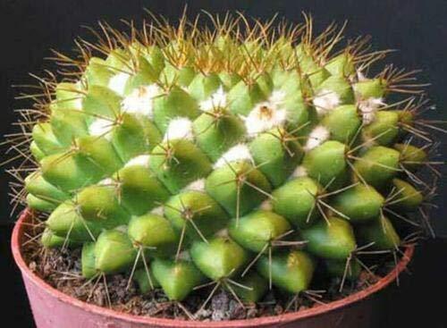 Mammillaria Marksiana - 15 Seeds - Cactus Cacti