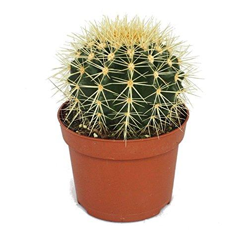 Exotenherz - Echinocactus grusonii - Silla suegra en maceta de 12 cm.