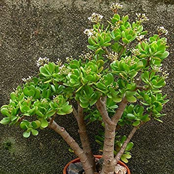 Vistaric 20 Unids/bolsa Crassula Ovata Semilla Crassula Oblicua 'Gollum Plantas de...