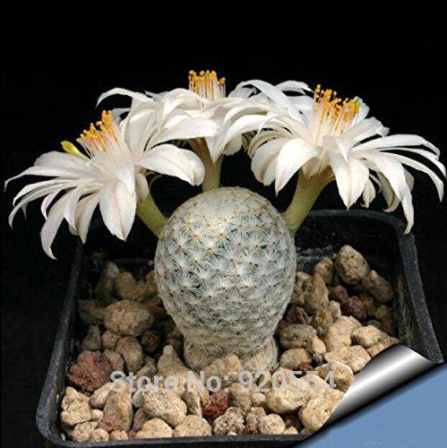 semillas reales, 20pcs / semillas de cactus mucho, Mammillaria herrerae ssp....