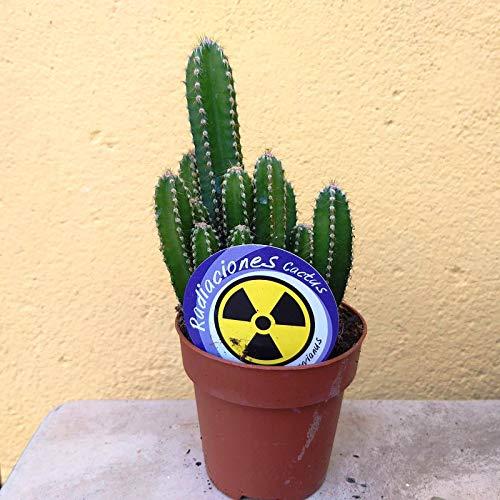 Cereus Peruvianus Cactus Antiradiaciones PORTES GRATIS