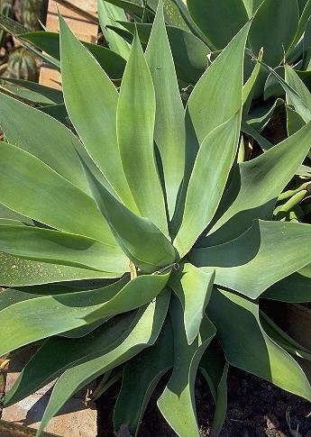 Cola de zorra Agave 15 Semillas - Agave attenuata - Cactus
