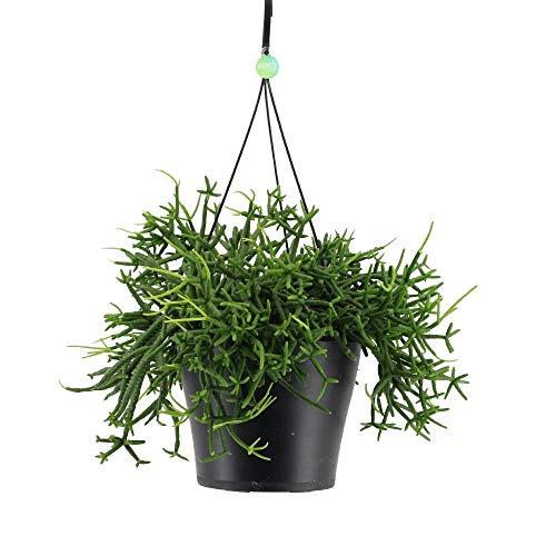 Cactus y suculento de Botanicly – Ripsalis en Cesta colgante como un conjunto –...