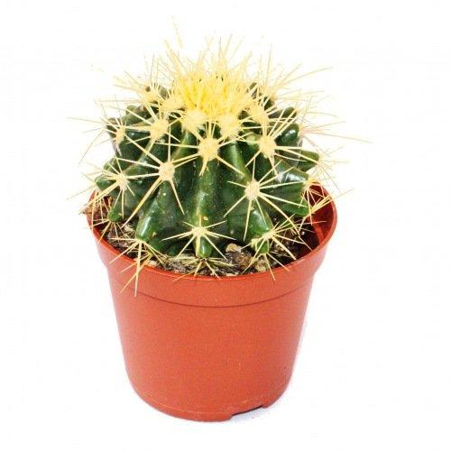 Echinocactus Grusonii en maceta de 8,5 cm
