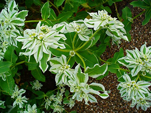15 Semillas de Euphorbia Marginata