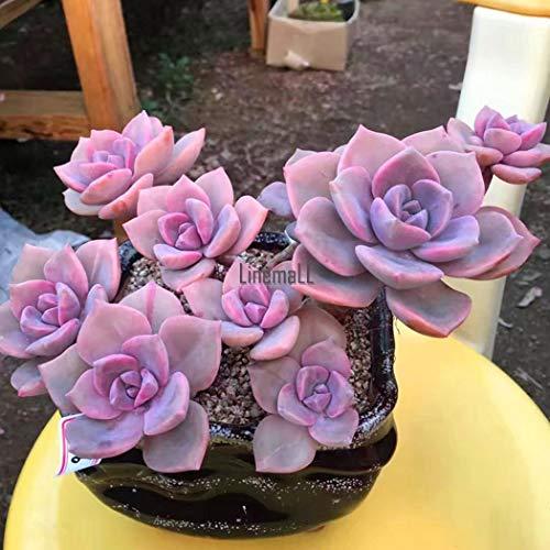 Portal Cool 100 Unids Graptopetalum Purple Delight Semillas Plantas Suculentas Home...