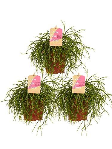 Plantas de interior de Botanicly – 3 × Ripsalis – Altura: 20 cm – Rhipsalis...