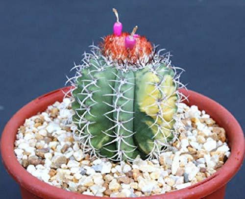 PLAT FIRM SEMILLAS DE GERMINACION: Melocactus matanzanus abigarrado color exótico...