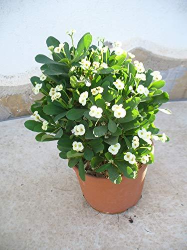 Euphorbia milii - Espina de cristo - blanca/una planta 35-45 cm