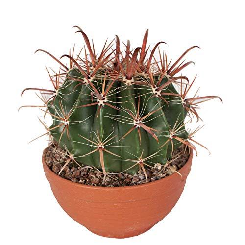 Cactus y suculento de Botanicly – Viznaga de Lima en bol de terracota como un...