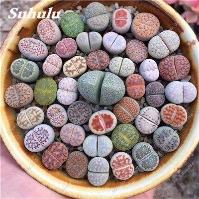 10 piezas y las suculentas semillas, Oficina de escritorio Lithops Pseudotruncatella...