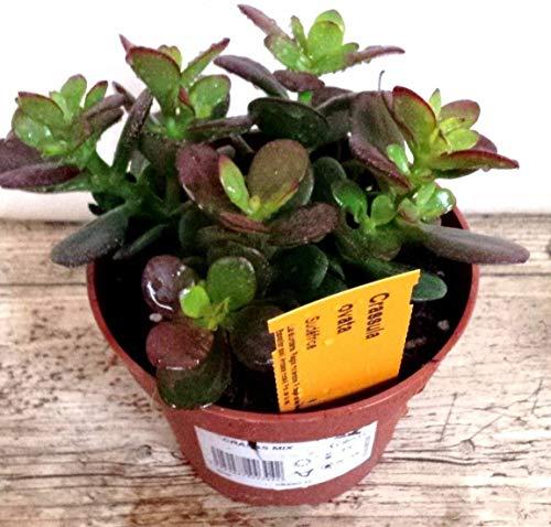 Planta de Jade Crassula Ovata PORTES GRATIS
