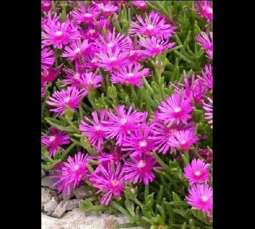 100 semillas planta de hielo ~ Delosperma Cooperi alfombra rosada