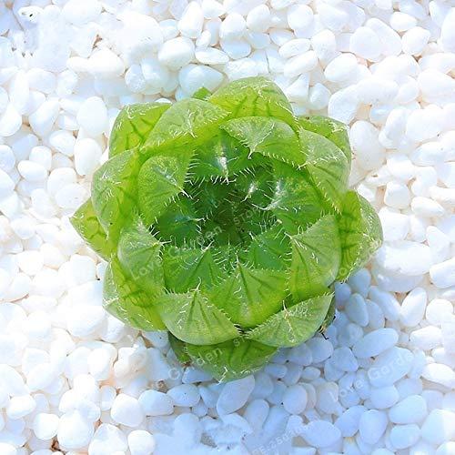 Bloom Green Co. 100 Bonsai/Bolsa Oficina Escritorio Flores Hierbas Suculentas Bonsai...
