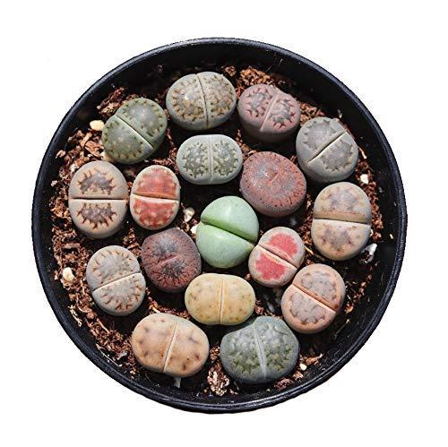 Kyz Kuv - Semillas de semillas de cactus, 15 unidades