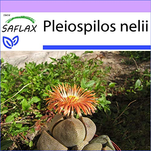 SAFLAX - Piedras vivas - 40 semillas - Pleiospilos nelii