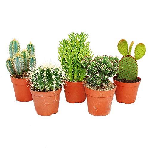 Pack 5 Cactus Variados en Maceta de 5cm Kit Ahorro Plantas Naturales.