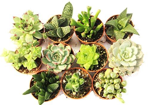 11 Suculentas naturales, raras y coleccionables, sin espinas, una diferente de la...