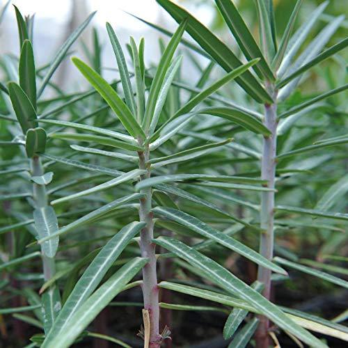 Semillas de Tártago Euphorbia Lathyris 15 Semillas de Hierba Talpera