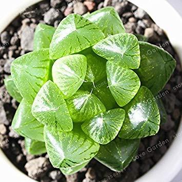 Vistaric 100 Semillas/Bolsa Oficina Escritorio Flores Hierbas Suculentas Semillas...