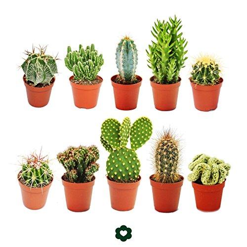 Conjunto de 10 cactusdiferentes, con macetero de aproximadamente 5,5cm8 cm a...