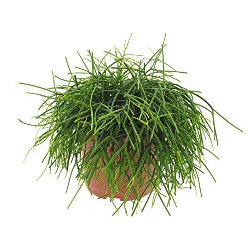 Cactus y suculento de Botanicly – Ripsalis – Altura: 25 cm – Rhipsalis...