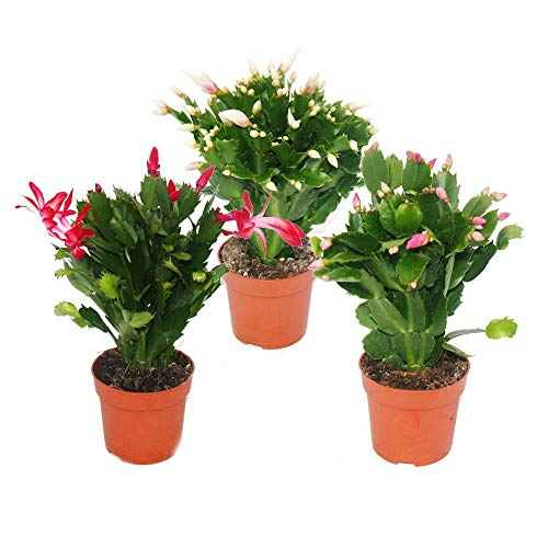 Christmas Cactus - Schlumbergera - Set of 3 plants