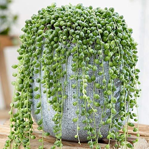 Portal Cool Semillas Cuentas 100pcs Senecio rowleyanus perla Chlorophytum Verde Flor...