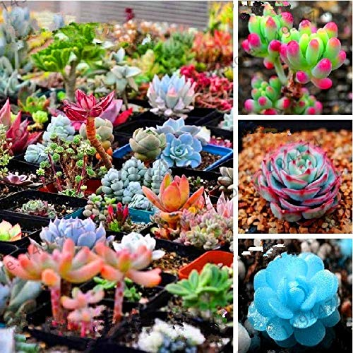 Bloom Green Co. ¡Venta!Suculentas raras de jardín Orostachys. Iwarenge, planta de...