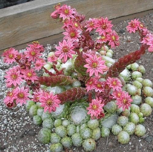 50 Sempervivum arachnoideum semillas, siempreviva, resistente perenne!