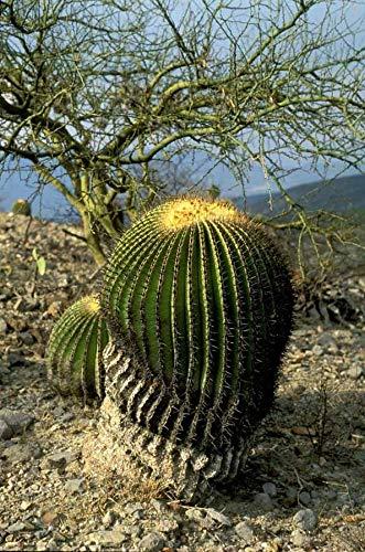 Portal Cool Echinocactus platyacanthus 10 semillas frescas - (Cactus gigante del...