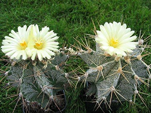 20 semillas Astrophytum ornatum semillas suculentas jardín de cactus bonsai de...