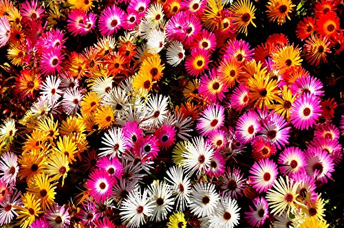 RWS Mittagsblume 500 semillas, Plant Delosperma mezcla de hielo