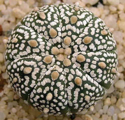 Portal Cool 5 Semillas Astrophytum asterias (Rare) - semillas de cactus