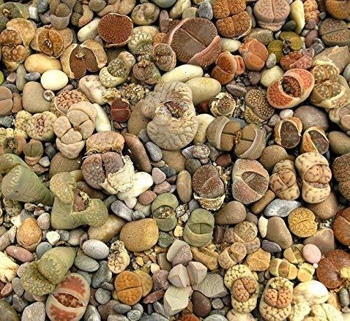 Piedras vivas, semillas de guijarros - Lithops sp. - 50 semillas