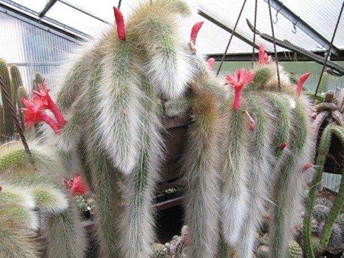 Portal Cool Hildewintera Cleistocactus Colademononis Cola De Mono Cactus Bonsai 20...