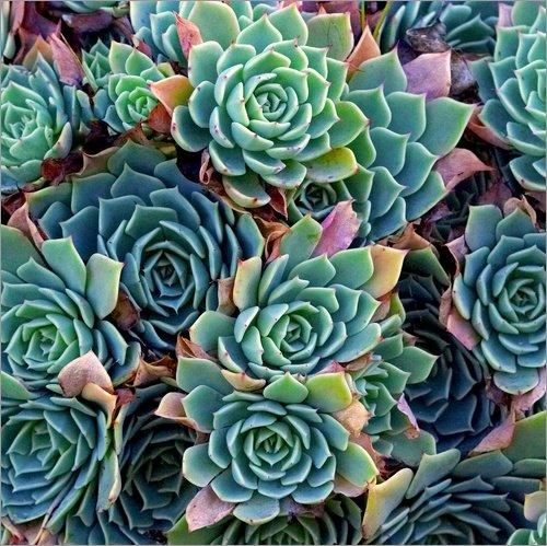 Póster 40 x 40 cm: Colorful Succulents de David Wall/Danita Delimont - impresión...