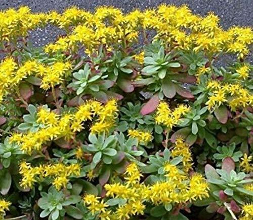 ScoutSeed Suculentas Flores Amarillas de Sedum Palmeri Corte Fuerte del Tallo...