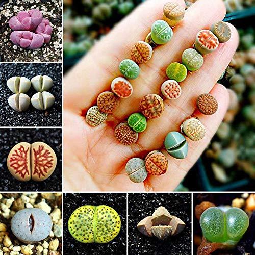 Portal Cool 100Pcs: 50 / 100Pcs Semillas de Lithops raras mezcladas Piedras vivas...